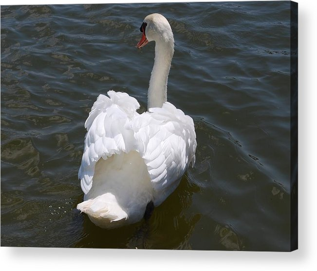 White Swan Acrylic Print featuring the photograph White Swan by Carrie Munoz