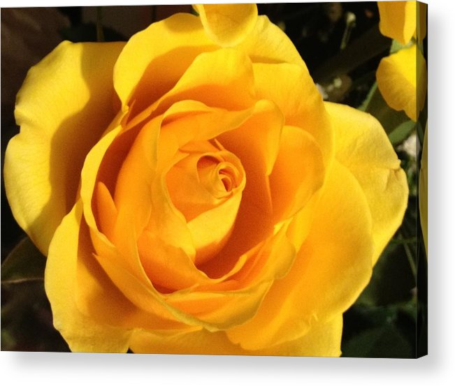 Rose Acrylic Print featuring the photograph Yellow Rose by Debbie Levene