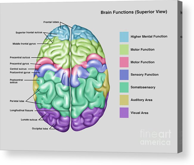 Anatomy Functions Of Brain Acrylic Print By Gwen Shockey