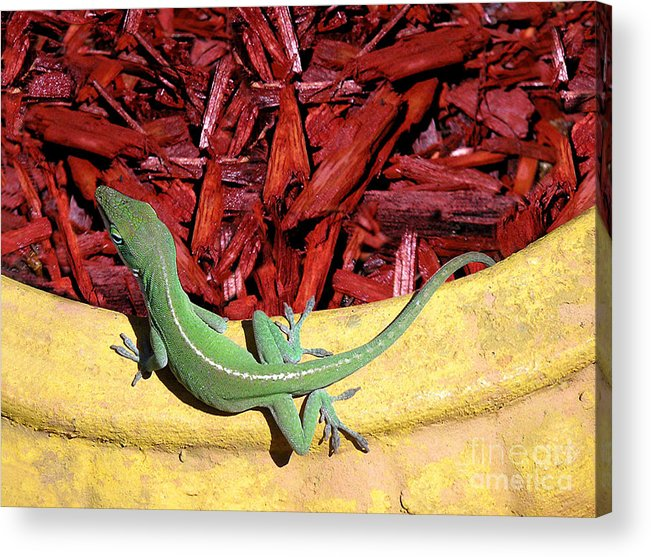 Nature Acrylic Print featuring the photograph Anole Getting A Better Look by Lucyna A M Green