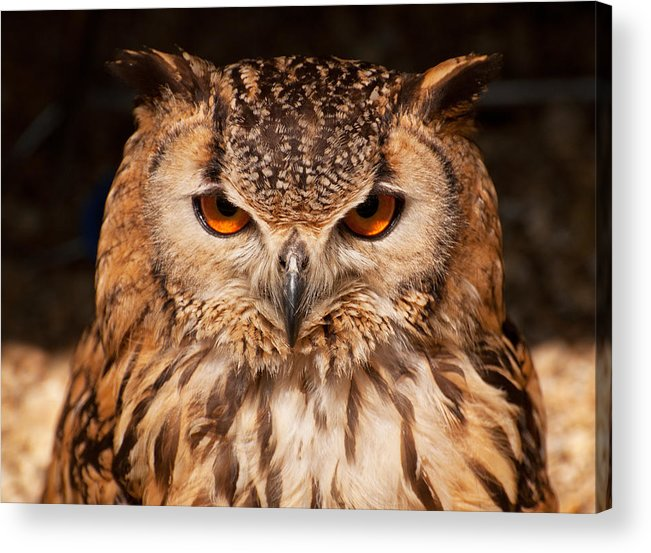 Owl Acrylic Print featuring the photograph Bengal Owl by Chris Thaxter
