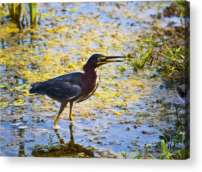 Bird Acrylic Print featuring the photograph Fishing by Aaron Cooke