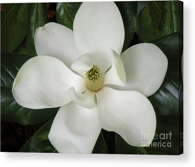 Nature Acrylic Print featuring the photograph Magnolia In Full Bloom by Lucyna A M Green