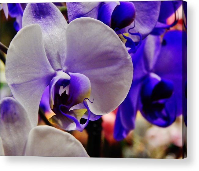 Flower Bloom Acrylic Print featuring the photograph Purple Orchid by VLee Watson