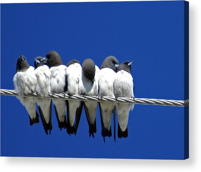 Animals Acrylic Print featuring the photograph Seven Swallows Sitting by Holly Kempe