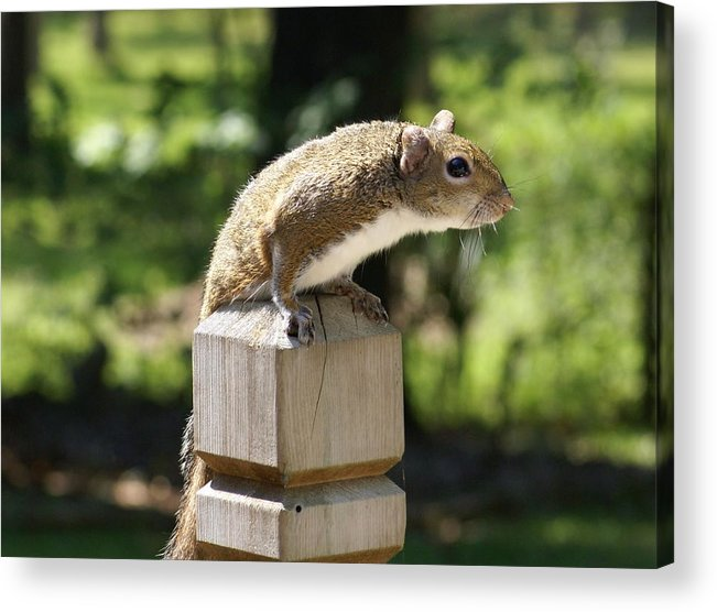 Squirrel Acrylic Print featuring the painting Sweetie by Debbie May