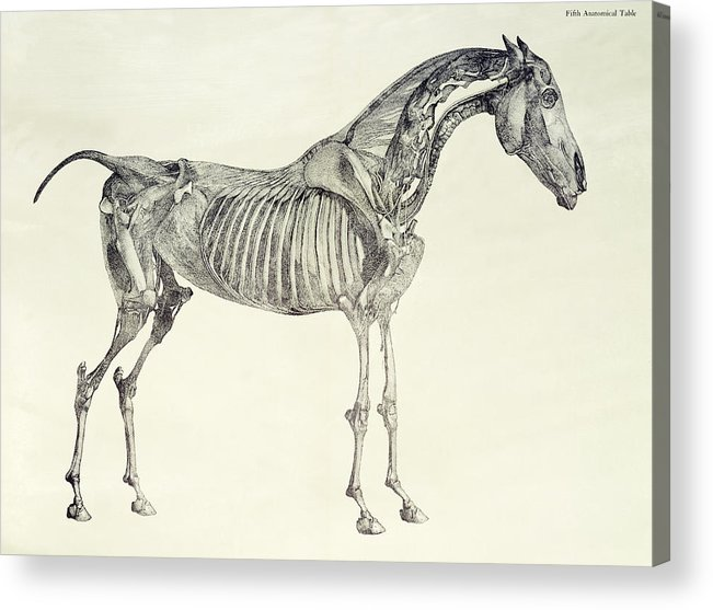 Fifth Acrylic Print featuring the drawing The Anatomy Of The Horse by George Stubbs