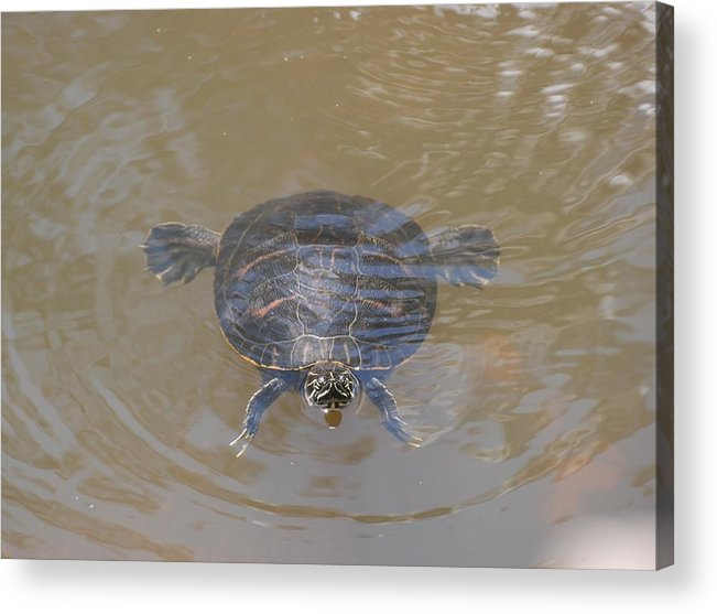 Water Acrylic Print featuring the photograph The Swimming Turtle by Rob Hans