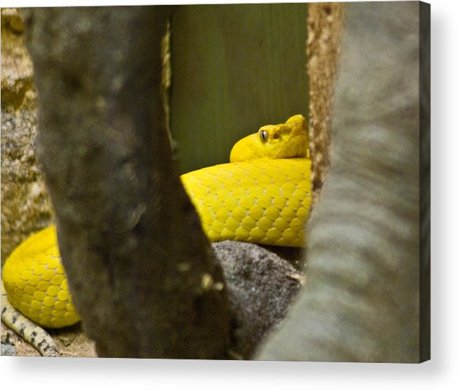 Yellow Acrylic Print featuring the photograph Wicked Snake by Douglas Barnett