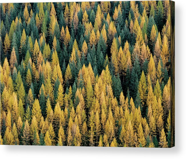 Idaho Scenics Acrylic Print featuring the photograph Western Larch Forest by Leland D Howard