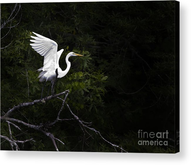 Bird Acrylic Print featuring the photograph White Egret's Takeoff by J L Woody Wooden