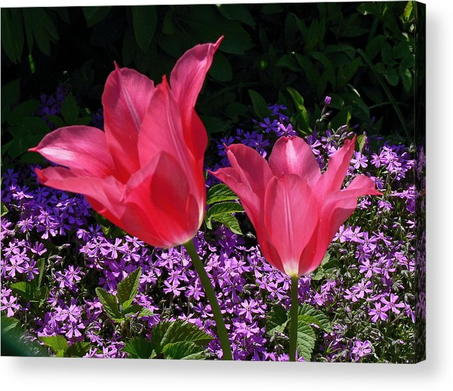 Tulips Acrylic Print featuring the photograph 222. by Pavel Jankasek