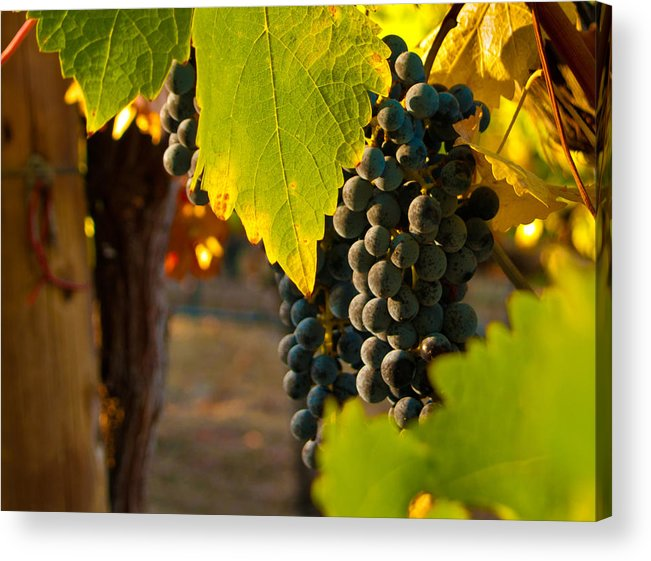 Grape Acrylic Print featuring the photograph Fruit Of The Vine by Bill Gallagher