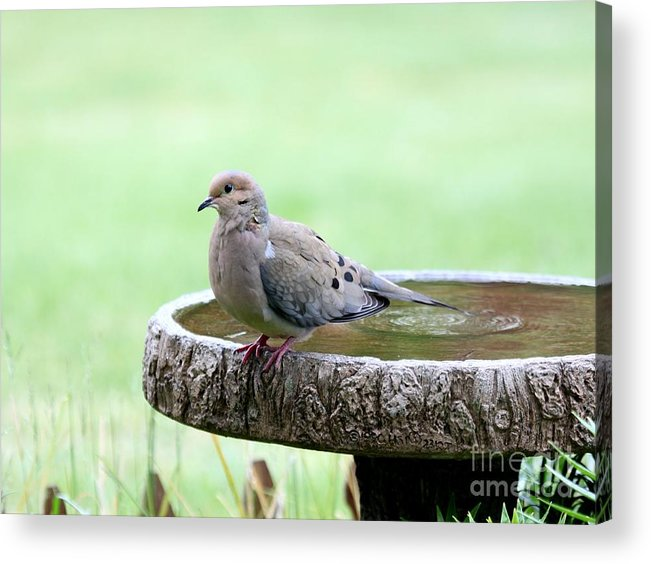 Nature Acrylic Print featuring the photograph Mourning Dove by Jack R Brock
