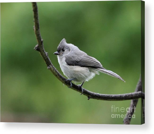 Nature Acrylic Print featuring the photograph Tufted Titmouse by Jack R Brock