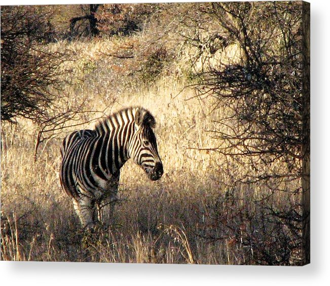 Zebra Acrylic Print featuring the photograph Black And White by William Fields