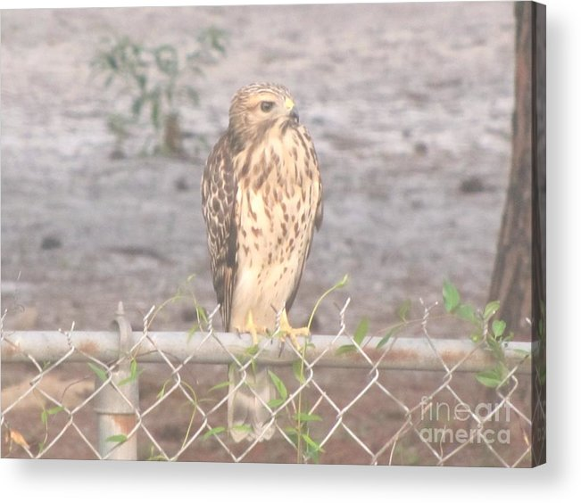 Chicken Hawk Acrylic Print featuring the photograph Chicken Hawk 3 by Michelle Powell
