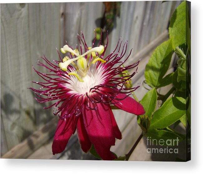 Acrylic Print featuring the photograph Crimson Passion Flower by Jane Whyte