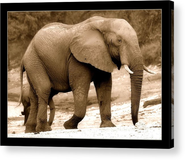 Wild Acrylic Print featuring the photograph elephant of Botswana by Helen Ahlers