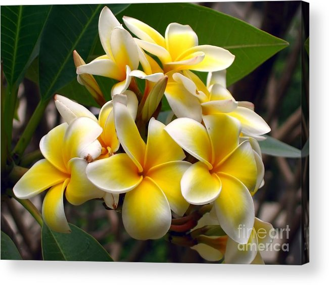 Stamen Acrylic Print featuring the photograph Fragrant Blossoms Of The Pagoda Tree by Yali Shi