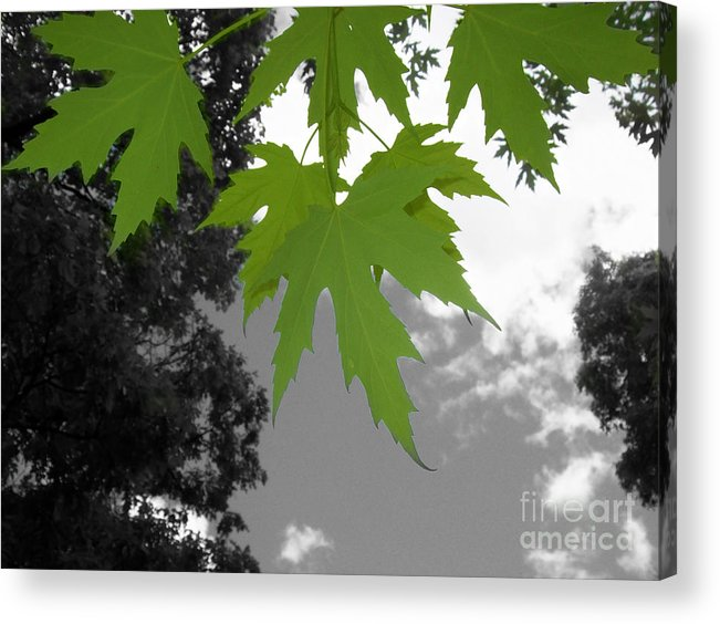 I Like To Look Up In Into The Blue Sky To See What I Can See. I Saw These Young Maple Leaves In Early Spring. I Loved Their Vibrant Colour And So I Took Out The Background Colours And Made It Black And White Only. I Like The Impact That The Contrast Gives. Acrylic Print featuring the photograph Green Maple Leaves by Mary Mikawoz