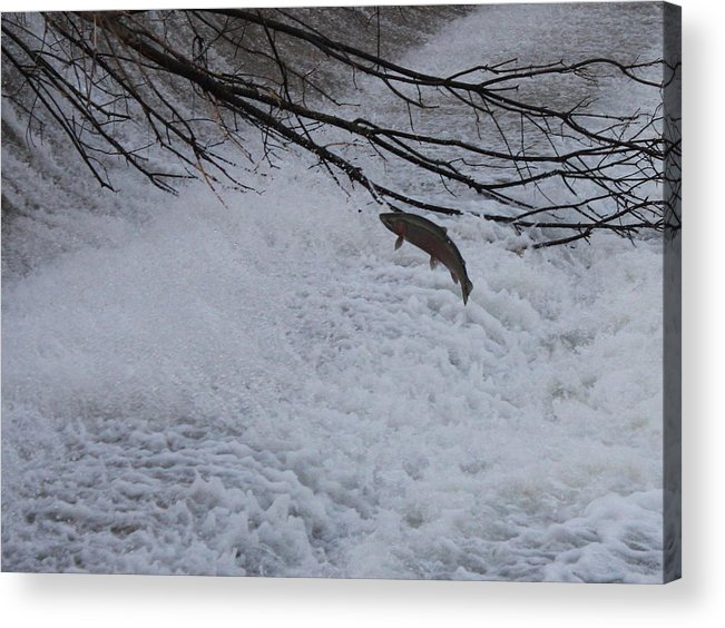 Fish Acrylic Print featuring the photograph Leap Of Faith by Paul Hurtubise