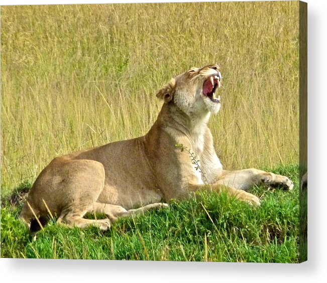 Lioness Acrylic Print featuring the photograph Morning Yawn by Robert Joseph