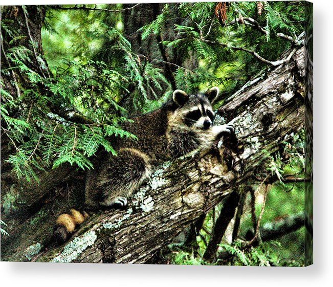 Raccoon Acrylic Print featuring the photograph Naptime by Matthew Winn
