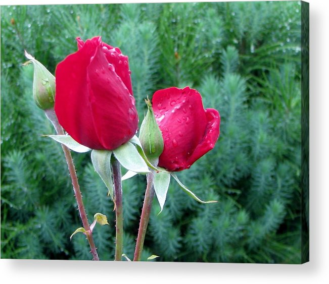 Red Roses Acrylic Print featuring the photograph Rain Kissed Roses by Judyann Matthews