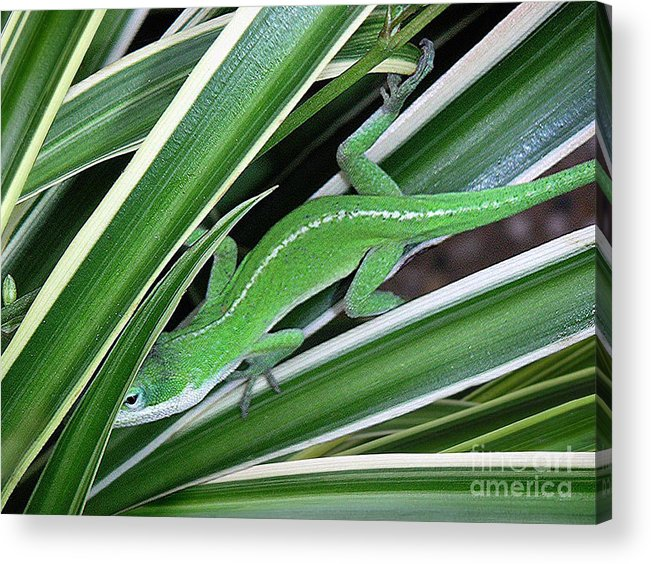 Nature Acrylic Print featuring the photograph Anole Hiding In Spider Plant by Lucyna A M Green