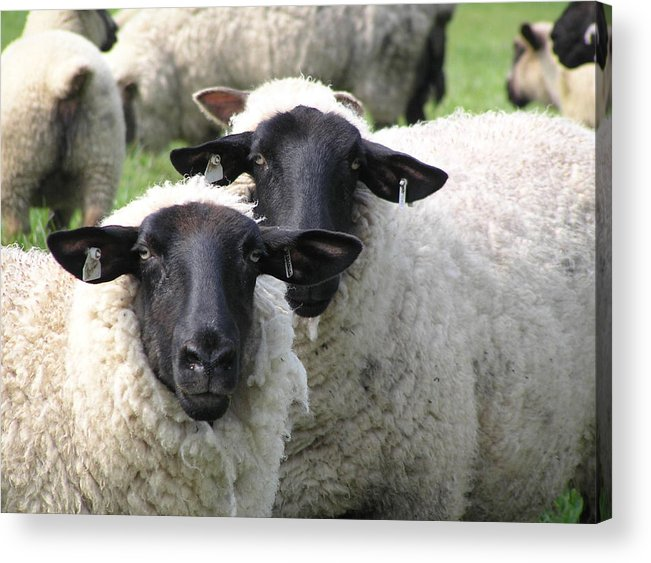 Sheep Acrylic Print featuring the photograph Baa Friends by Jeanette Oberholtzer