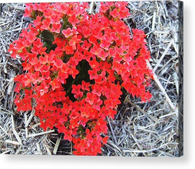 Red Acrylic Print featuring the photograph Blush by Neil Trapp