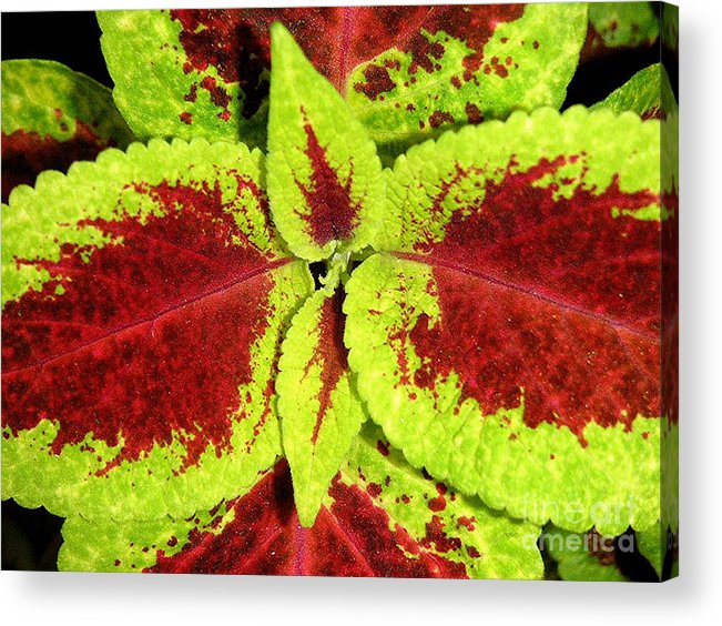 Nature Acrylic Print featuring the photograph Burgundy And Pea Green by Lucyna A M Green