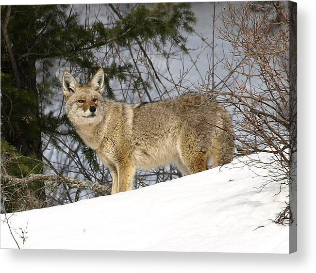 Coyote Acrylic Print featuring the photograph Coyote In Winter by DeeLon Merritt