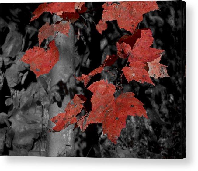 Nature; Pennsylvania; United States; Fall Foliage Acrylic Print featuring the photograph Fall Foliage In Pennsylvania by Bob Hahn