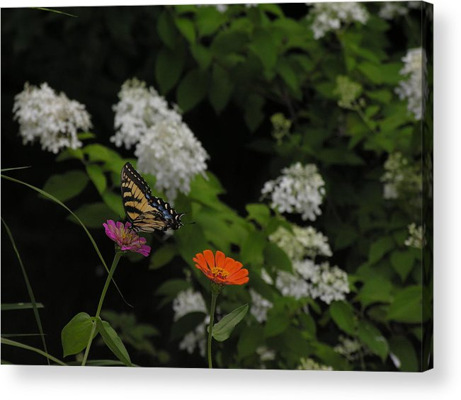 Butterfly Acrylic Print featuring the photograph Lingering by Anna Dubon