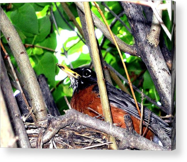 Robin Acrylic Print featuring the photograph Nesting Robin by Will Borden