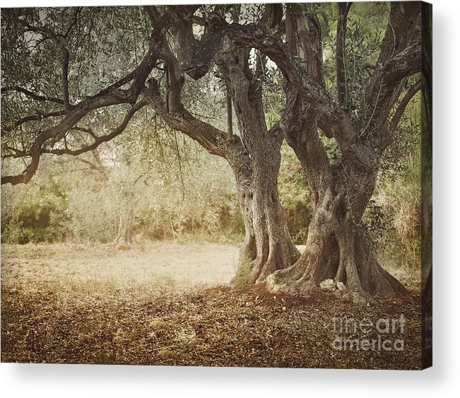 Aged Acrylic Print featuring the photograph Old Olive Tree by Mythja Photography