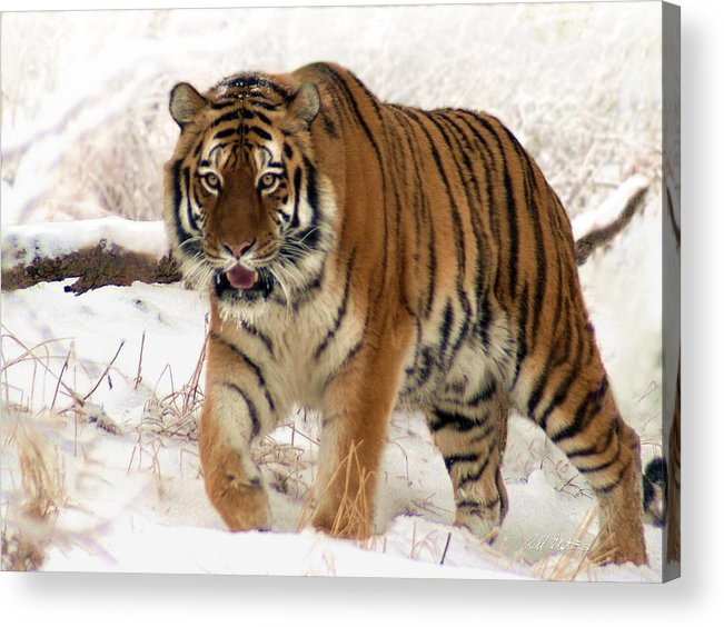 Tiger Acrylic Print featuring the photograph Orange In Winter by Barbara Stephens