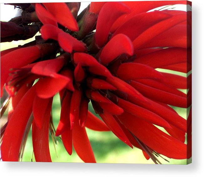 Red Acrylic Print featuring the photograph Passionate Red by Jean Booth