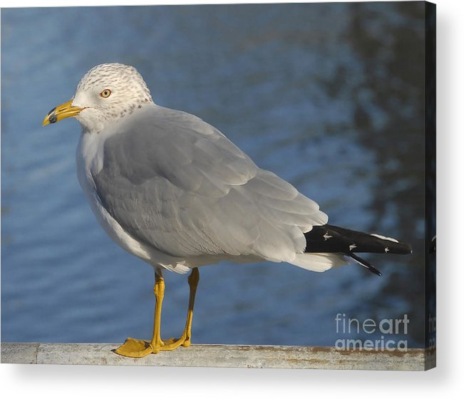 Seagull Acrylic Print featuring the photograph Seagull by David Lee Thompson