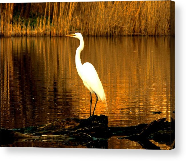 Egret Acrylic Print featuring the photograph Standing Proud by Kendall Eutemey