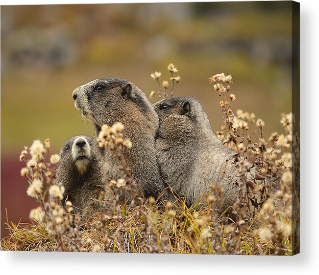 Adorable Acrylic Print featuring the photograph Three Marmots 2 by Marv Vandehey