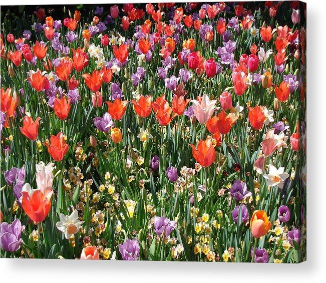 Landscape Acrylic Print featuring the photograph Tulip Delight 2 by Shiana Canatella