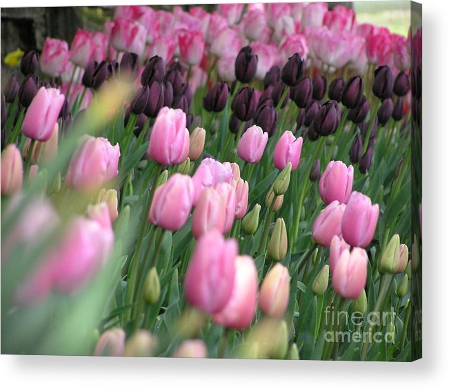 Tulips Acrylic Print featuring the photograph Tulip Dreams by Louise Magno