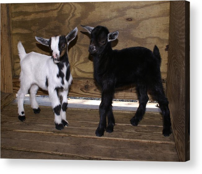 Baby Goat Twins Acrylic Print featuring the photograph Twin Kids by Debbie May