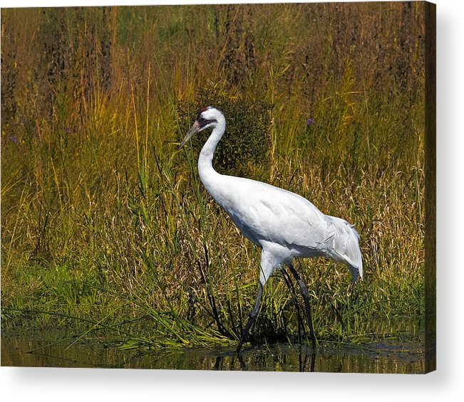 whooping Crane Acrylic Print featuring the photograph Whooping Crane by Al Mueller