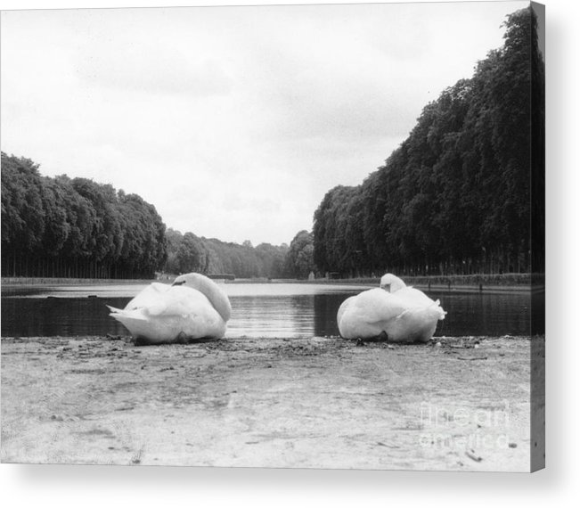 Swans Acrylic Print featuring the photograph Resting Swans by Christine Jepsen