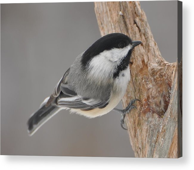 Bird Acrylic Print featuring the photograph Black Capped Chickadee by Raju Alagawadi