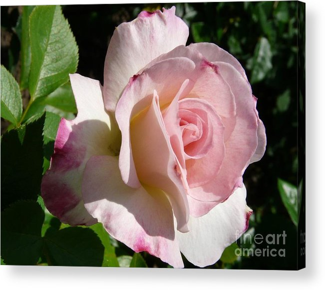 Rose Acrylic Print featuring the photograph Springtime Has Sprung by Kendall Eutemey